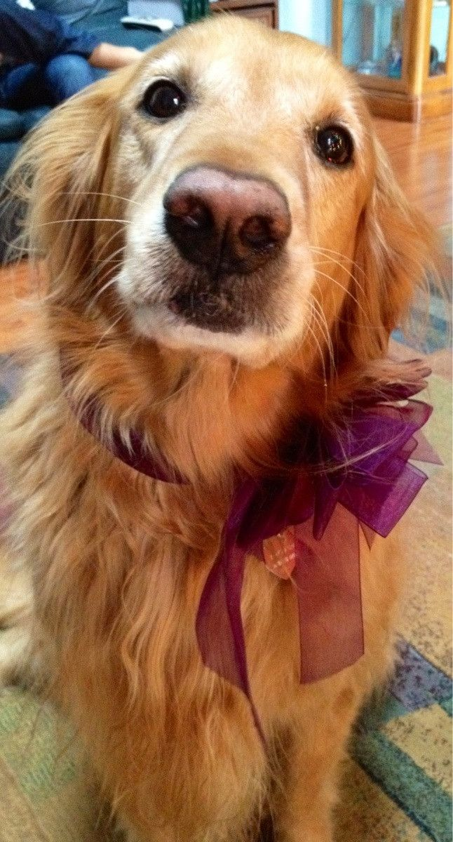 Golden Retriever - Awww. I want to throw my arms around his neck and hug him!: Dogs, Golden Retrievers, Puppy Love, Pretty Girl, Pet, Animal, Golden Retriever