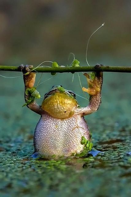 Hanging in there by NeilJamesMiller, via Flickr: Animals, Nature, Work Out, Frogs, Chinup