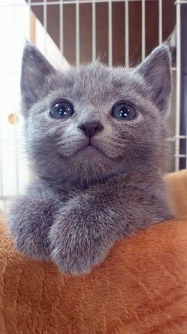 How can you not love this little one...with pretty blue eyes!: Gray Kitten, Kitty Cats, Animals, Grey Kitten, Pet, Kittens, Smile, Cat Lady
