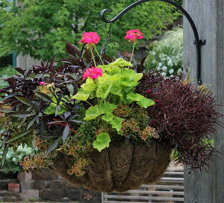 How to Create Sensational Pots and Planters    This planting showcases the 18-inch Hayrack Hanging Basket. It needs a shady site — would be perfect under a porch. Plants included: Alternanthera d. rubiginosa, Boston fern (Nephrolepsis exaltata 'Blue B