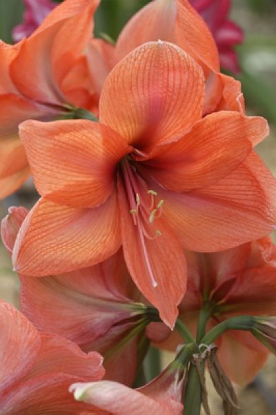 How to Get Amaryllis Flowers to Rebloom From Year To Year: Favorite Flowers, Color, Flora, Beautiful Flowers, Bloom, Beauty, Garden