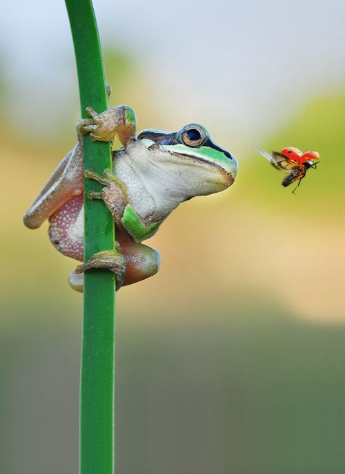 """Hunt & Hunter"" by Mustafa Öztürk: Dinner, Hunter, Animals, Ladybug Snack, Mustafa Öztürk, Ladybugs, Frogs, Photo, Amphibians"