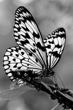 I am a butterfly and this experience has taught me that they are a bug zapper.: Beautiful Butterflies, Butterflies Dragonflies, Butterfly, Black And White, Flutterby, Animal