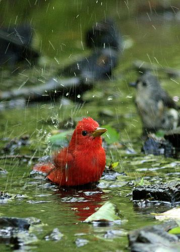I could sit for hours watching birds play around in the water-they always look so Happy!!!: Redbird, Bird Baths, Beautiful Birds, Rainy Days, Bath Time, Animal