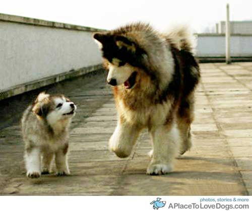 I just melted a little....: Big Fluffy Dogs, Dogs Puppies, Cutest Animals, Animalss, Husky, Animals 3, Alaskan Malamutes, Big Dogs