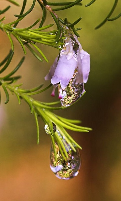 I live for the regenerative power of the rain drops here in the forest. Rosemary, a drought thriving herb. CH.: Dewdrop Raindrop Waterdrop, Macro, Raindrops Dew, Drops, Rain Drops, Rain Rainbows Dewdrops, Dew Drops Rain, Water, Water Drop