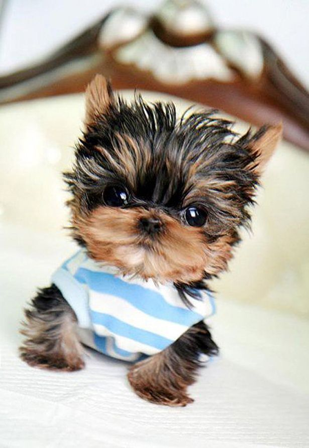 I Love all Dog Breeds: 5 Sweetest Teacup puppies you have ever seen: Animals, Teacup Dog, Dogs, Yorkie, Pet, Puppys, Adorable