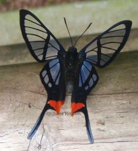 I love the see-through butterflies and moths. (Octauius Swordtail)    (Lepidoptera, Riodinidae, Chorinea octauius): Octauius Swordtail, See Through Butterflies, Swordtail Butterfly, Animal