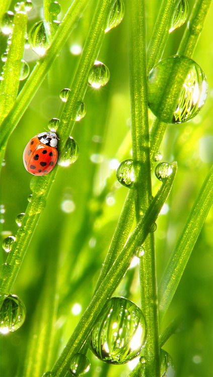 I miss the days of hunting for ladybugs at the park then releasing them in the backyard.: Nature Raindrops, Green, Ladybugs, Ladybird, Dewdrops, Rain Drops, Dew Drops, Photo