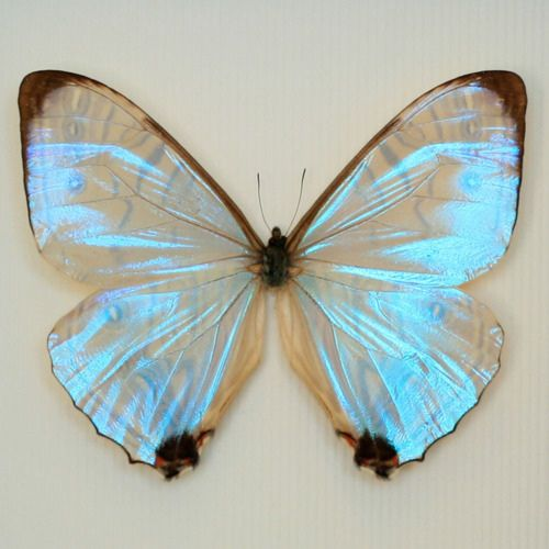 iridescent wings ♥: Beautiful Butterflies, Animals, Color, Pearl Morpho, Posts