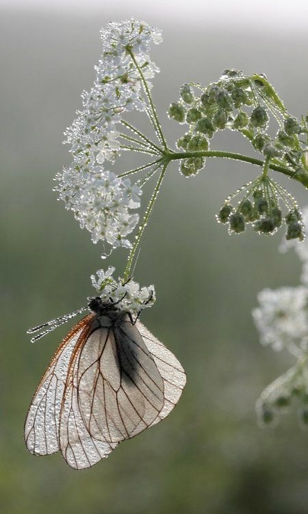 *It is only when you take flight on the wings of your own power away from what you know that you can find the greatest beauty in the world..: Beautiful Butterflies, Nature, Flutterby, White Garden, Queen Annes Lace