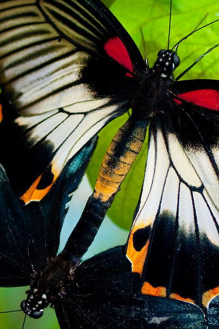 Jehovah Gods imagination shown even in the butterfly, look at its colors and design: Beautiful Butterflies, Color, Moth, Beautiful Nature, Animal