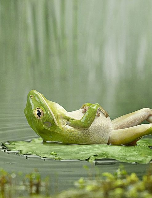 Just relaxing!   ...........click here to find out more     http://googydog.com: The Beatles, Peace Frogs, Relaxing Frog, Animals Funny, Funny Animal, Relaxing Time, Animal Funny