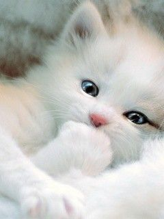 Kitten: Animals, Kitty Cat, Sweet, Pet, White Cats, Kitty Kitty, Adorable Kitten, Baby, White Kittens