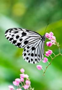 Let Your work [the signs of Your power] be revealed to Your servants, and Your [glorious] majesty to their children. (Psalm 90:16): Beautiful Butterflies, Polka Dots, Black And White, Flutterby, Flower, White Butterfly, Animal