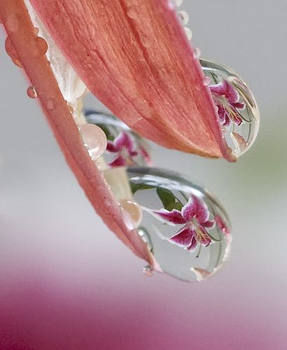 lily in the water droplets by betty wiley, via Flickr: Macro, Water Drops, Dew Drops, Flowers, Dewdrop, Photo, Water Droplets, Rain Drop