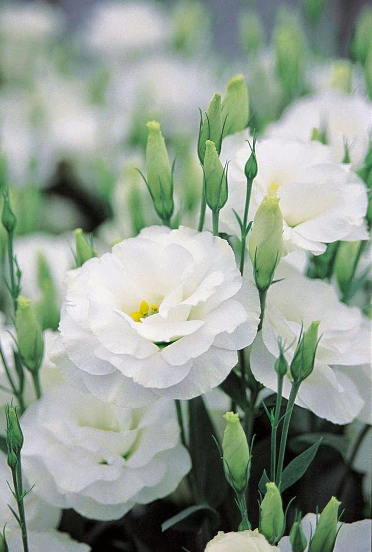 lisianthus: White Flowers, Double Lisianthus, White Lisianthus, Wedding Flowers, Beautiful Flowers, White Garden, Flowers, Flower