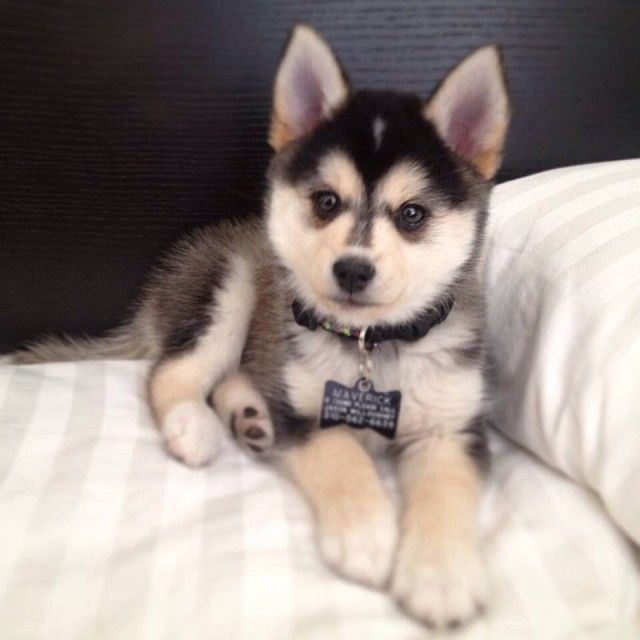 look at this lil guy: Pomeranian Husky, Doggie, Animals, Puppies, Dogs, Puppys, Future Pet, Box, Pomsky