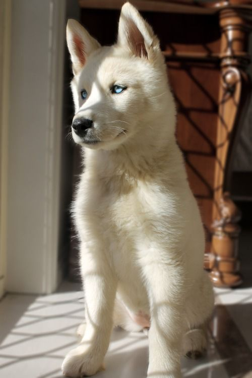 love all white huskies! so cuddly: Animals, Dogs, Siberian Husky, Pets, Puppys, Blue Eyes, Box, Friend