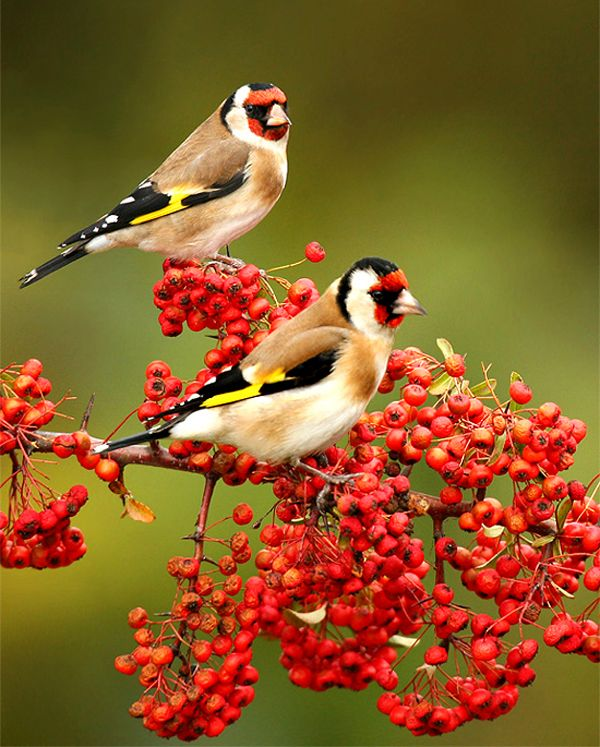 Lovely birds: Animals, Nature, Birdie, Beautiful Birds, Photo, European Goldfinch
