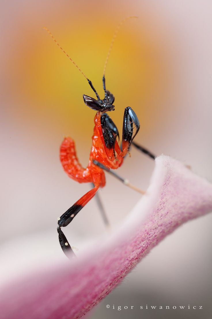 mantisbaby by *Blepharopsis: Igor Siwanowicz, Macro, Animals, Baby, Mantis Nymph, Insects Bugs Spiders Ect, Praying Mantis