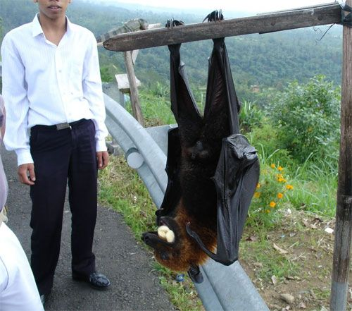 Meet the largest bat on earth- the Pemba flying fox. These bats are fruit and nectar eaters with an average wingspan of 6'. Wow!: Animals, Nature, Bats, Creature, Largest Bat, Pemba Flying, Foxes