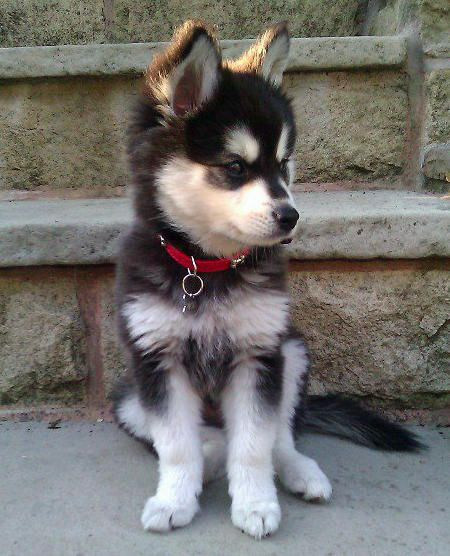 Moko the Alaskan Klee Kai. Cutest puppy in the world. Yes, I would put this in my room :): Cutest Puppy, Alaskan Husky Puppies Baby, Alaskan Klee Kai, Puppy Husky, Baby Huskies, Huskies Puppies, Animal, Mini Huskies