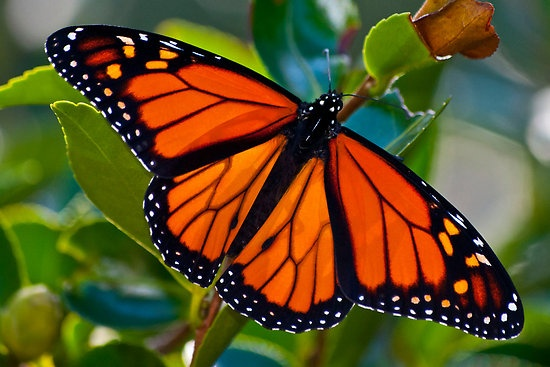 Monarch Butterflies.  Yes, I know it's not a bird but they are stopping by for a break over Thanksgiving.: Butterfly Brainstorming, Monarch Butterfly, Butterfly Aways, Animals, Butterflies And Bugs, Butterflies Givers, Butterfly Board