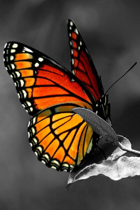 "~Monarch Butterfly ~""His talent was as natural as the pattern that was made by the dust on a butterfly's wings. At one time he understood it no more than the butterfly did and he did not know when it was brushed or marred.""  Ernest Hemingway~: Bea"