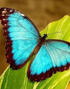 My all time favorite butterfly, they're beautiful.: Nature, Blue Butterfly, Butterflies, Color, Beautiful, Blue Morpho, Photo, Animal