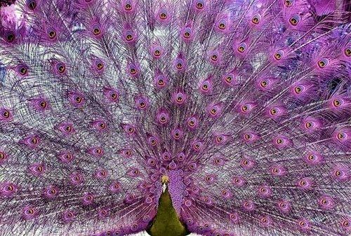 My guess is that it's photoshopped, but it's still gorgeous!: Peacocks, Animals, Beautiful, Purple Passion, Color Purple, Birds, Purple Peacock