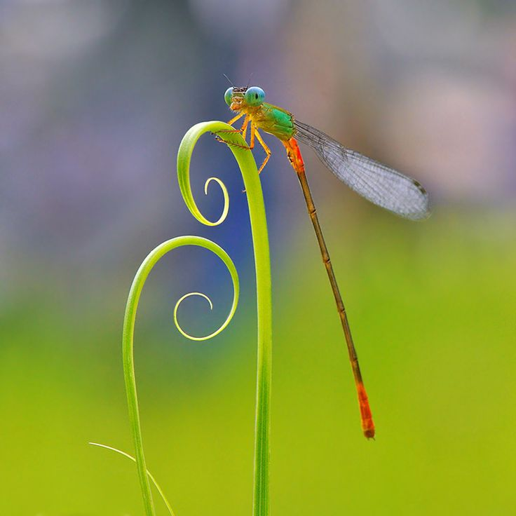 Now that's a close up of a dragon fly: Nordin Seruyan, Photos, Animals, Nature, Insects, Dragonfly, Dragonflies