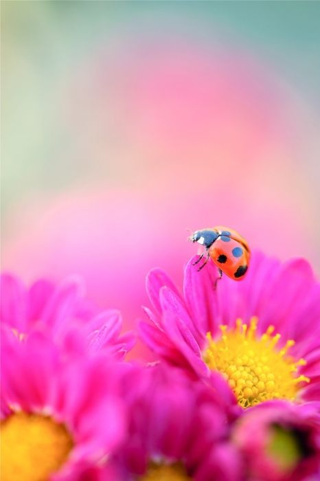 Oh my!  Only our Magnificent Earth with her Nature paints could create a masterpiece such as this gorgeous flower and delicate Ladybug!: Pink Flower, Color, Ladybugs, Things, Lady Bugs, Flowers, Garden, Photo, Animal