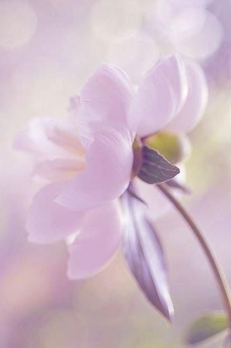 Pale purple prettiness: Soft Colors, Posts, Beautiful Flowers, Pastel Flowers, Soft Pastel, Garden, Floral, Purple Flower