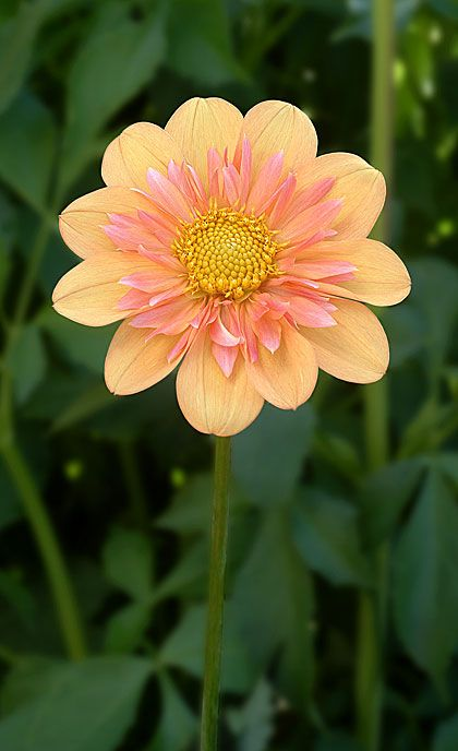 ~~Pale Tiger Dahlia | Corralitos Gardens~~: Pale Tiger, Peach Colors, Dahlias, Pretty Flowers, Beautiful Flowers, Corralitos Garden, Tiger Dahlia