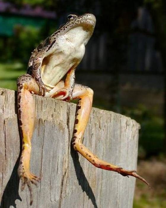 Patiently waiting to become a prince.: However, Prince, Bays, Funny, Cute Animals, Toad, Frogs, Photo