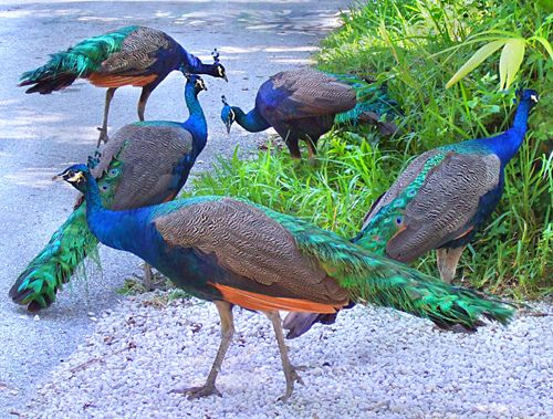 Peacocks by the side of the road in Coconut Grove, Florida: Photos, Pet, Animals Birds Peacocks, Florida Birds, Beautiful Birds, Art Peacocks, Pretty