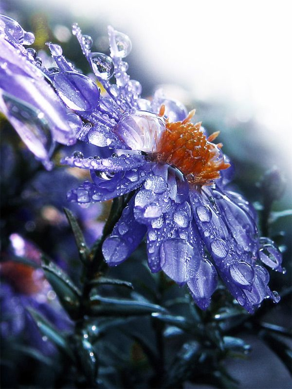Perfect analogous color scheme for a soothing pattern of purples and blues. #extremeBeauty #photography: Beautiful Flower, Nature, Raindrop, Dewdrops, Dew Drops, Flowers, Photo, Rain Drop, Water Drop