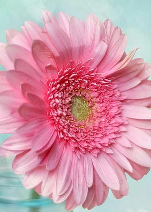 Pink Daisy Gardens: Beautiful Gorgeous, Daisies, Beautiful Flowers, Pretty Flowers, Pink Gerbera, Daisy Beautiful, Pink Daisy, Garden, Gorgeous Pretty
