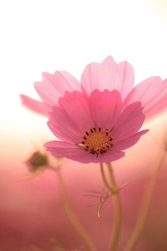 pink: Pink Flowers, Pretty Pink, Flower Color, Pink Pink, Beautiful Flowers, Garden, Pink Cosmos, Flower