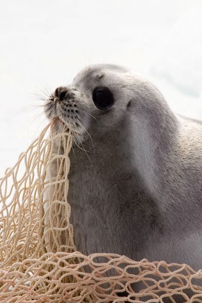 Please don't tangle me in these things!: Gift, Beautiful Animals, Cute Seals, Beach Life, Beautiful Creatures, Baby Seals, Eye
