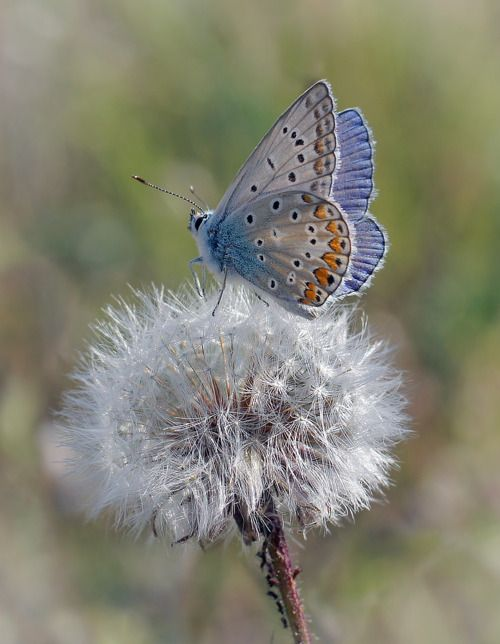 pretty butterfly and dandelion....there's just something about dandelions. this would make a great tattoo: Beautiful Butterflies, Animals, Nature, Flutterby, Photo