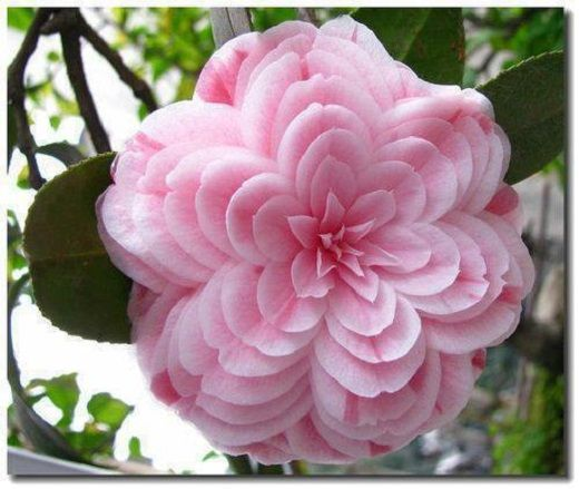 Pretty pink Camellia .. ..: Pink Flower, Rose, Camellia, Nature, Gardening, Beautiful Flowers, Camellia Japonica, Flowers