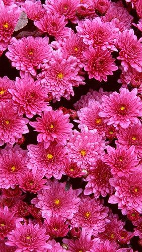 Pretty Pink Chrysanthemums: Colour, Photos, Flickr, Colors, Pink 20Chrysanthemum 20Flowers, Pink Chrysanthemums, Beautiful Flowers, Flowers Chrysanthemums
