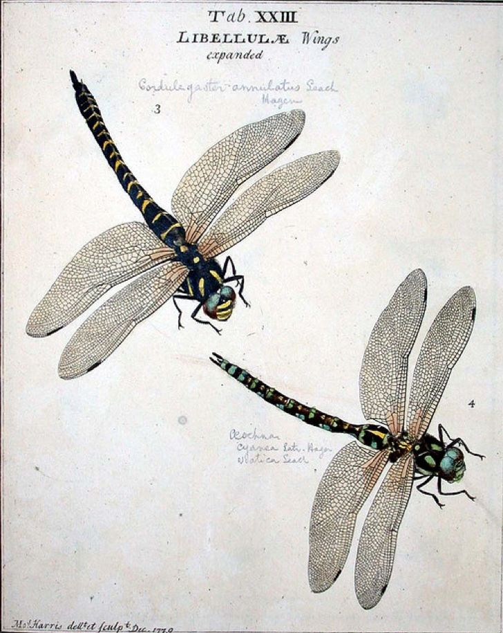 Printed in reverse with a laserjet printer, this great dragonfly image would be wonderful transferred onto a piece of furniture or home accessory using Artisan Enhancements Transfer Gel.: Scientific Illustration, Dragon Flies, Illustrations, English Insec