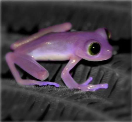 Purple Frog | kuva http kawaii japan fan deviantart com art purple frog 189747970 ...: Art Purple, Animals, Tree Frogs, Froggy, Things