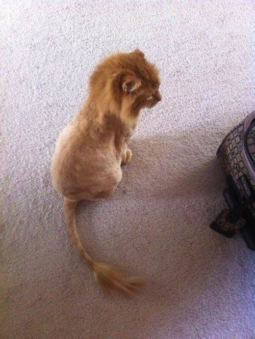 RAWR!: Cats, Lion Kitty, Orange Cat, Animals, Lion Cat, Pet, Funny, Haircut