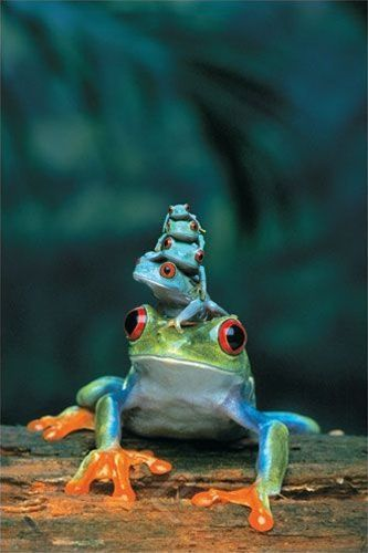 ~Red-Eyed Tree Frog, Mother and Babies ~ 4 baby tree frogs sit on their mother's head~~: Animals, Nature, Tree Frogs, Creatures, Baby, Families, Photo