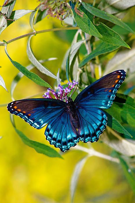 ~~Red Spotted Purple Butterfly by Road Mosey~~: Beautiful Butterflies, Photos, Roadmosey, Red Spotted Purple Butterfly, Color, Road Mosey, Roads, Animal, Butterfly Red Spotted