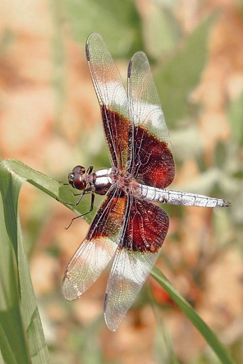 Resting Dragonfly © Richard D. Cox*: Dragonfly 169, Absolutely Amazing, Dragonfly Richard, Resting Dragonfly By, Dragonfly By Richard, Animal, Dragonflies